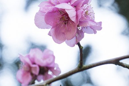 Close up photo of pink blossom